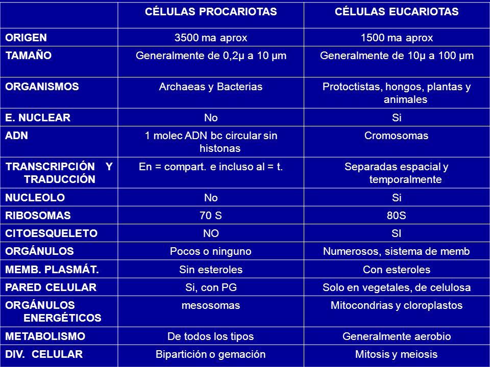 CÉLULAS PROCARIOTASCÉLULAS EUCARIOTAS ORIGEN3500 ma aprox1500 ma aprox TAMAÑOGeneralmente de 0,2μ a 10 μmGeneralmente de 10μ a 100 μm ORGANISMOSArchae