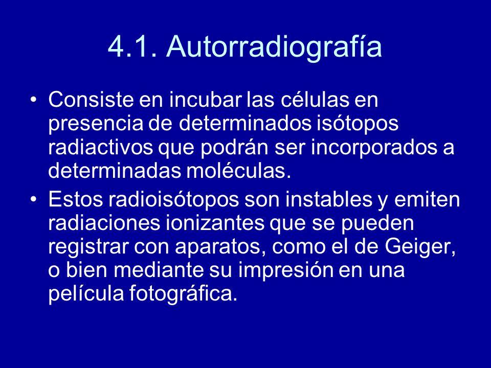 4.1. Autorradiografía Consiste en incubar las células en presencia de determinados isótopos radiactivos que podrán ser incorporados a determinadas mol