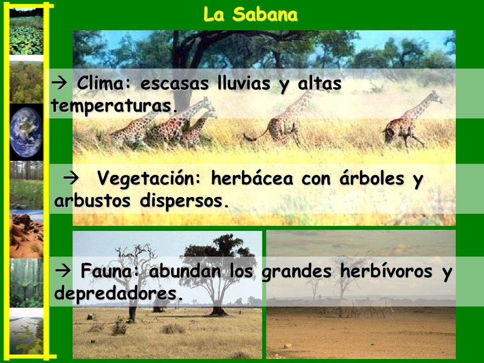 Clima: escasas lluvias y altas temperaturas. Clima: escasas lluvias y altas temperaturas. La Sabana Fauna: abundan los grandes herbívoros y depredador