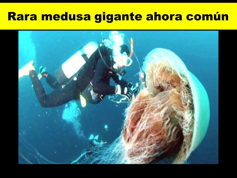 Rara medusa gigante ahora común