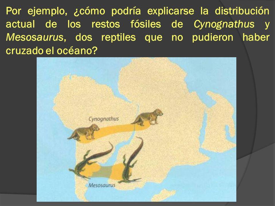 Por ejemplo, ¿cómo podría explicarse la distribución actual de los restos fósiles de Cynognathus y Mesosaurus, dos reptiles que no pudieron haber cruz