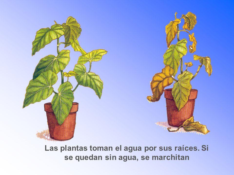 Las plantas toman el agua por sus raíces. Si se quedan sin agua, se marchitan
