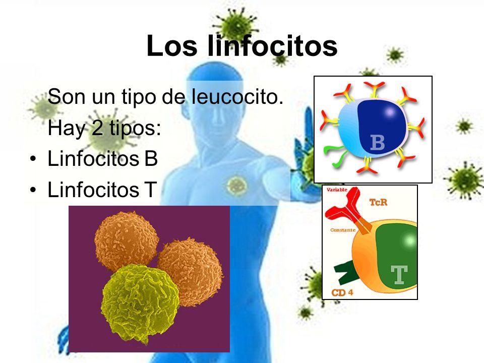 Los linfocitos Son un tipo de leucocito. Hay 2 tipos: Linfocitos B Linfocitos T