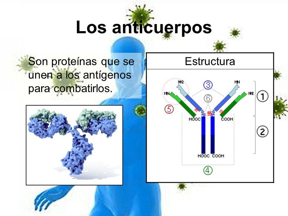 Los anticuerpos Son proteínas que se unen a los antígenos para combatirlos. Estructura