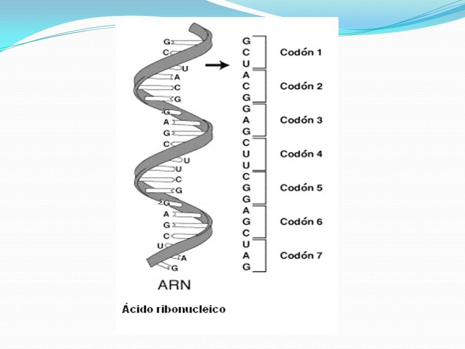Transcripción.A partir de una secuencia particular de ADN se forma una cadena de ARN mensajero.
