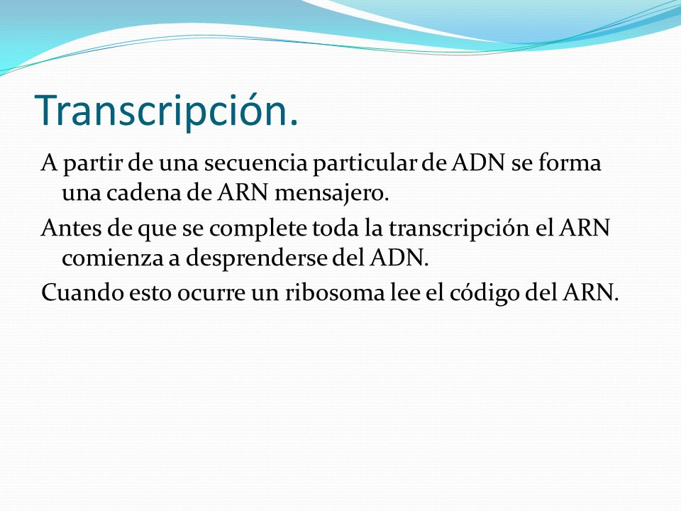 Transcripción. A partir de una secuencia particular de ADN se forma una cadena de ARN mensajero. Antes de que se complete toda la transcripción el ARN