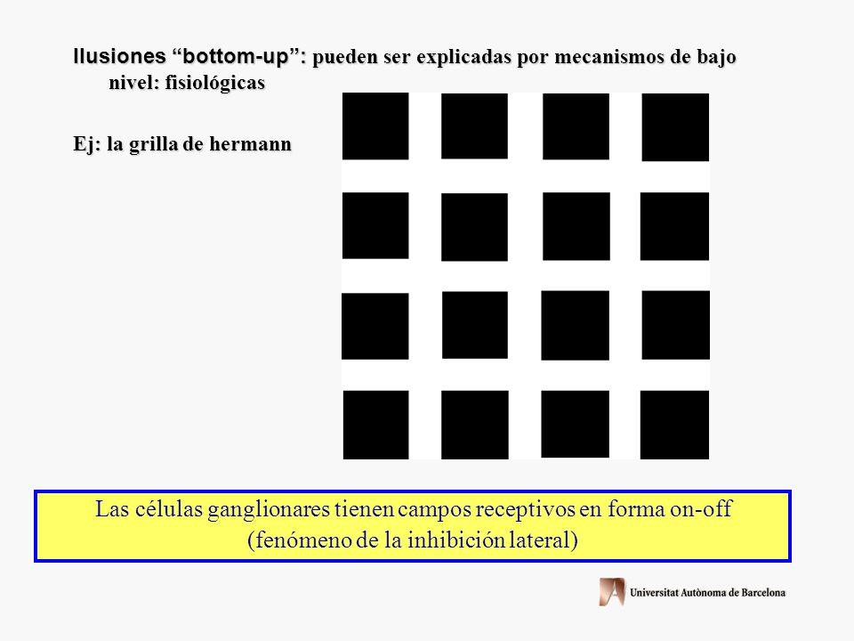 Ilusiones bottom-up: pueden ser explicadas por mecanismos de bajo nivel: fisiológicas Ej: la grilla de hermann Las células ganglionares tienen campos receptivos en forma on-off (fenómeno de la inhibición lateral)