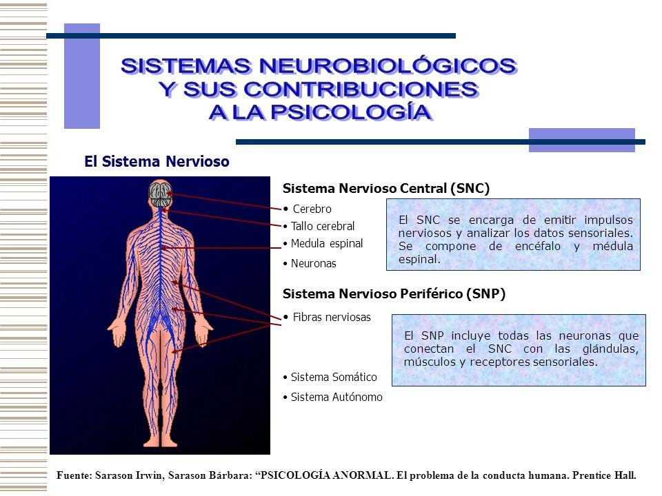 EL CEREBRO Área del lenguajeLóbulo Frontal (motriz) Lóbulo Parietal (sensaciones corpóreas) Lóbulo occipital (visión) Lóbulo temporal (audición) Cerebelo (coordinación y control muscular) Tallo cerebral ( regulación ) Cuerpo calloso ( conecta los hemisferios) Médula espinal Sistema límbico (emociones y aprendizajes) Hipotálamo (motivación y emociones) Tálamo (Transmisión sensorial) Fuente: Sarason Irwin, Sarason Bárbara: PSICOLOGÍA ANORMAL.