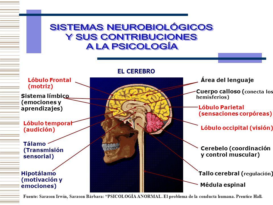 EL CEREBRO Área del lenguajeLóbulo Frontal (motriz) Lóbulo Parietal (sensaciones corpóreas) Lóbulo occipital (visión) Lóbulo temporal (audición) Cereb
