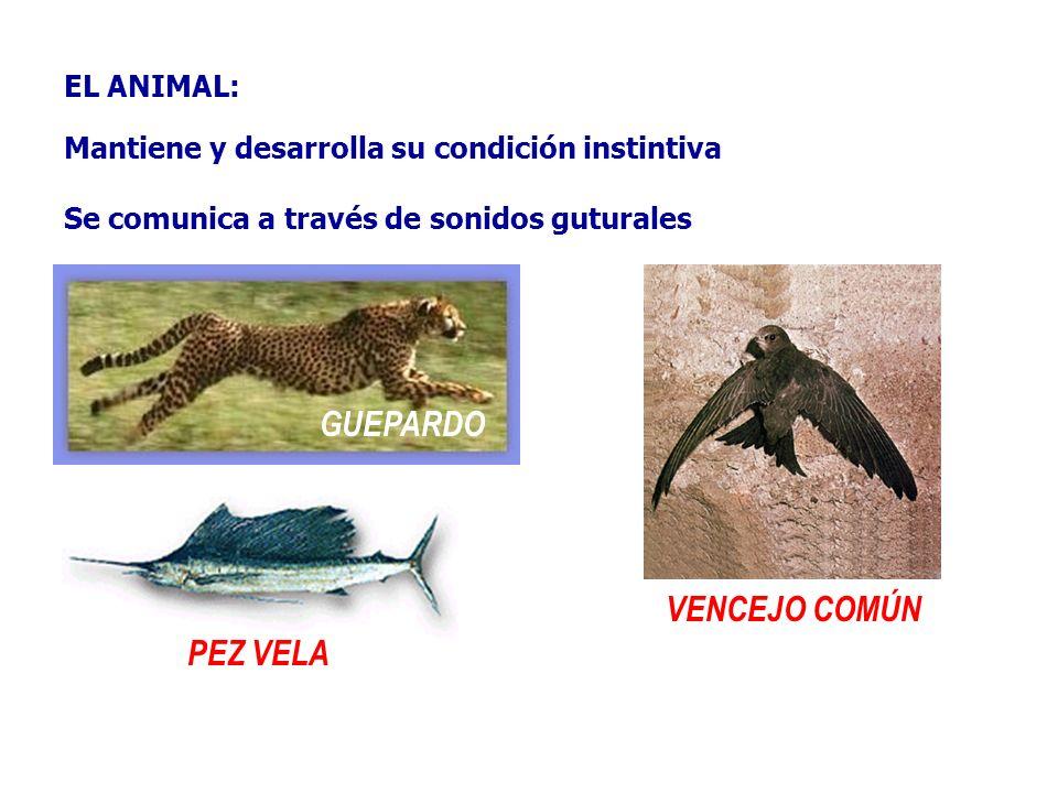 EL ANIMAL: Mantiene y desarrolla su condición instintiva Se comunica a través de sonidos guturales GUEPARDO PEZ VELA VENCEJO COMÚN