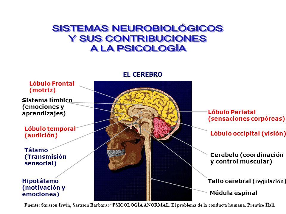 EL CEREBRO Lóbulo Frontal (motriz) Lóbulo Parietal (sensaciones corpóreas) Lóbulo occipital (visión) Lóbulo temporal (audición) Cerebelo (coordinación y control muscular) Tallo cerebral ( regulación ) Médula espinal Sistema límbico (emociones y aprendizajes) Hipotálamo (motivación y emociones) Tálamo (Transmisión sensorial) Fuente: Sarason Irwin, Sarason Bárbara: PSICOLOGÍA ANORMAL.