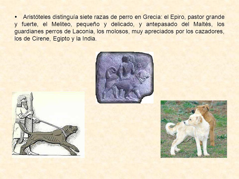 Aristóteles distinguía siete razas de perro en Grecia: el Epiro, pastor grande y fuerte, el Meliteo, pequeño y delicado, y antepasado del Maltés, los