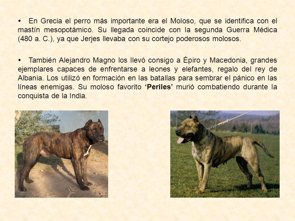 En Grecia el perro más importante era el Moloso, que se identifica con el mastín mesopotámico. Su llegada coincide con la segunda Guerra Médica (480 a