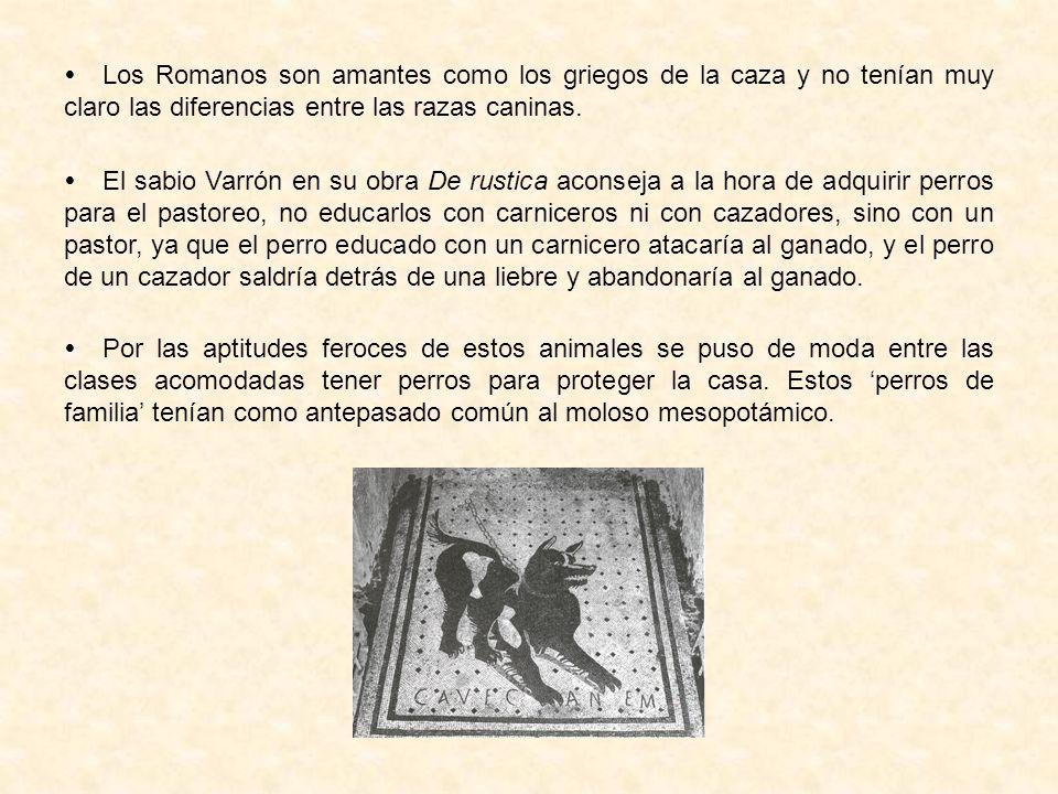 Los Romanos son amantes como los griegos de la caza y no tenían muy claro las diferencias entre las razas caninas. El sabio Varrón en su obra De rusti