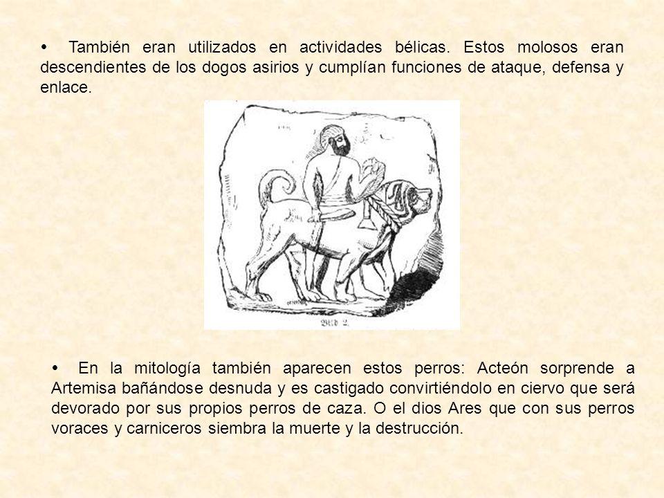 También eran utilizados en actividades bélicas. Estos molosos eran descendientes de los dogos asirios y cumplían funciones de ataque, defensa y enlace