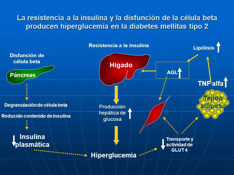 La resistencia a la insulina y la disfunción de la célula beta producen hiperglucemia en la diabetes mellitas tipo 2 Degranulación de célula beta Redu