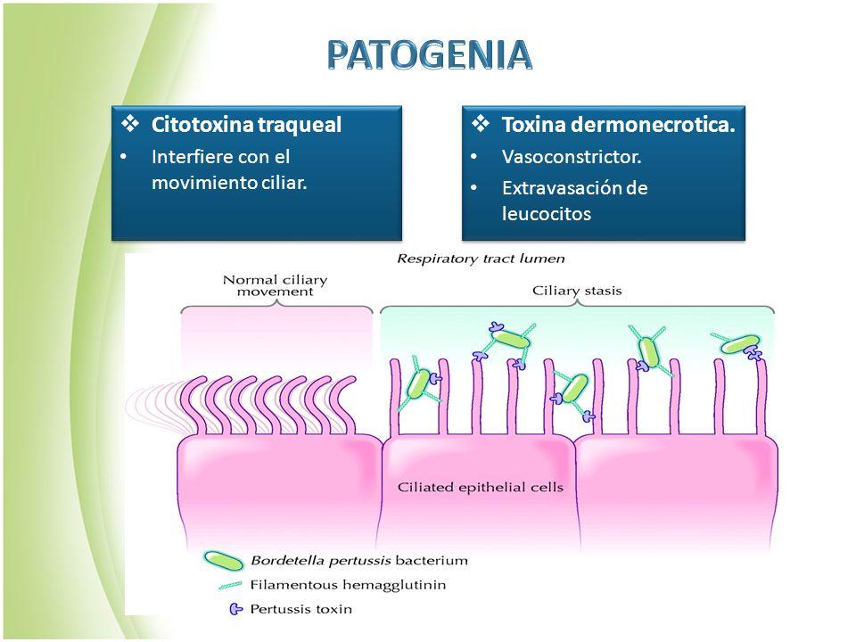 Citotoxina traqueal Interfiere con el movimiento ciliar. Citotoxina traqueal Interfiere con el movimiento ciliar. Toxina dermonecrotica. Vasoconstrict