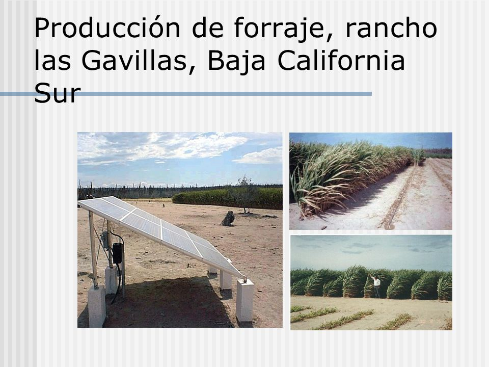 Producción de forraje, rancho las Gavillas, Baja California Sur