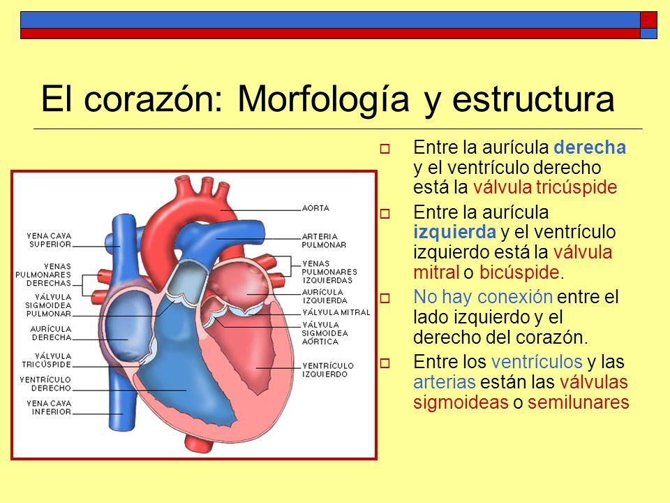 El corazón: Morfología y estructura Entre la aurícula derecha y el ventrículo derecho está la válvula tricúspide Entre la aurícula izquierda y el vent