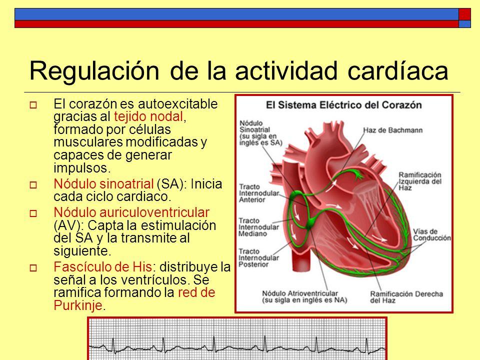 Regulación de la actividad cardíaca El corazón es autoexcitable gracias al tejido nodal, formado por células musculares modificadas y capaces de gener