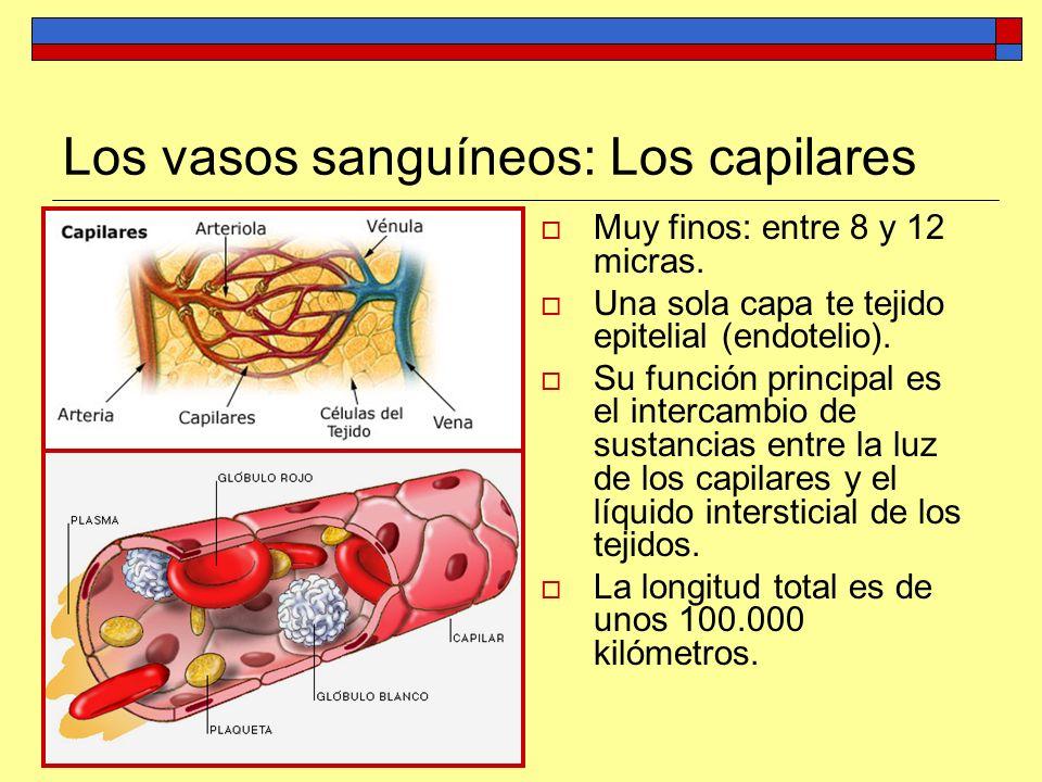 Los vasos sanguíneos: Los capilares Muy finos: entre 8 y 12 micras. Una sola capa te tejido epitelial (endotelio). Su función principal es el intercam