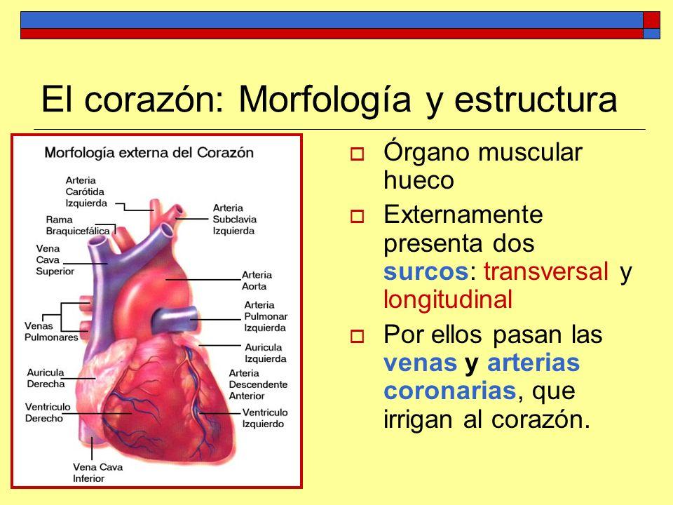 El corazón: Morfología y estructura Órgano muscular hueco Externamente presenta dos surcos: transversal y longitudinal Por ellos pasan las venas y art