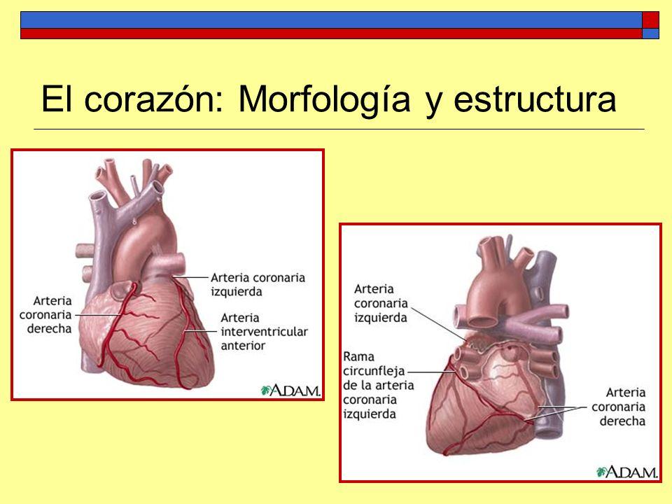 Regulación de la actividad cardíaca El corazón es autoexcitable gracias al tejido nodal, formado por células musculares modificadas y capaces de generar impulsos.