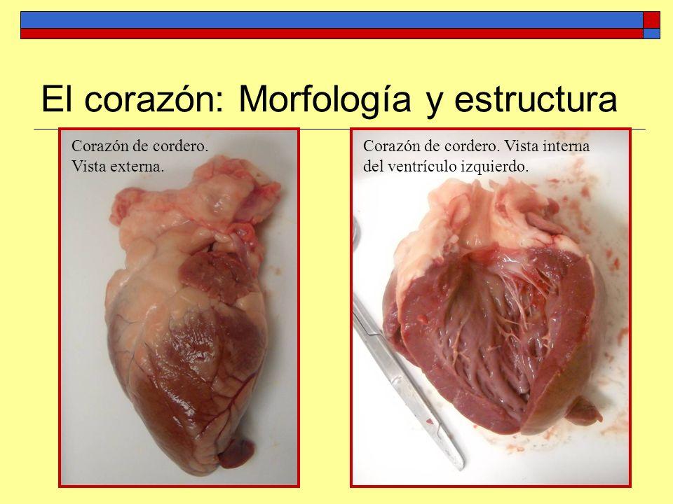 Corazón de cordero. Vista externa. Corazón de cordero. Vista interna del ventrículo izquierdo.
