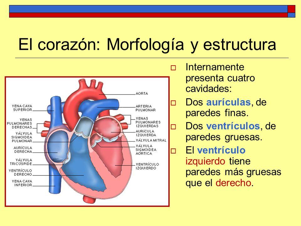 El corazón: Morfología y estructura Internamente presenta cuatro cavidades: Dos aurículas, de paredes finas. Dos ventrículos, de paredes gruesas. El v