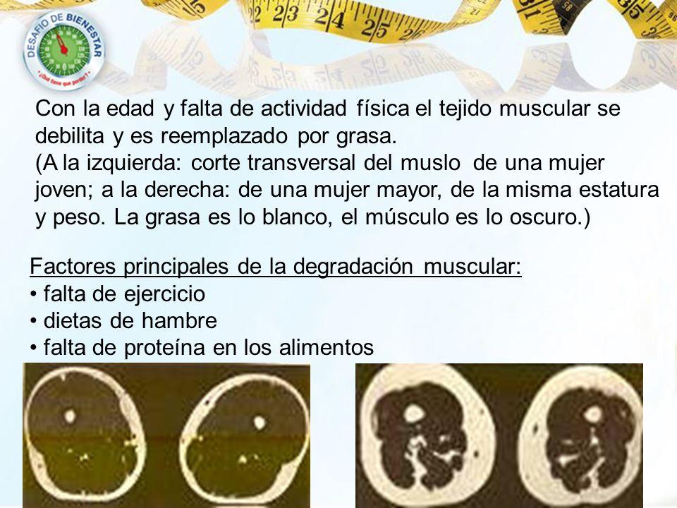 Con la edad y falta de actividad física el tejido muscular se debilita y es reemplazado por grasa. (A la izquierda: corte transversal del muslo de una