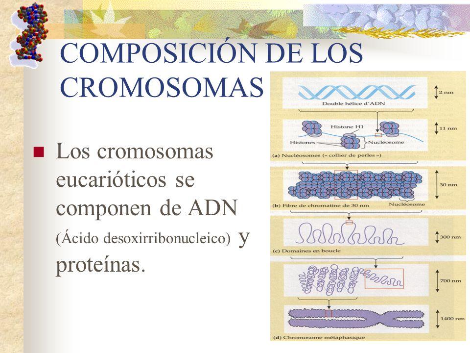COMPOSICIÓN DE LOS CROMOSOMAS Los cromosomas eucarióticos se componen de ADN (Ácido desoxirribonucleico) y proteínas.
