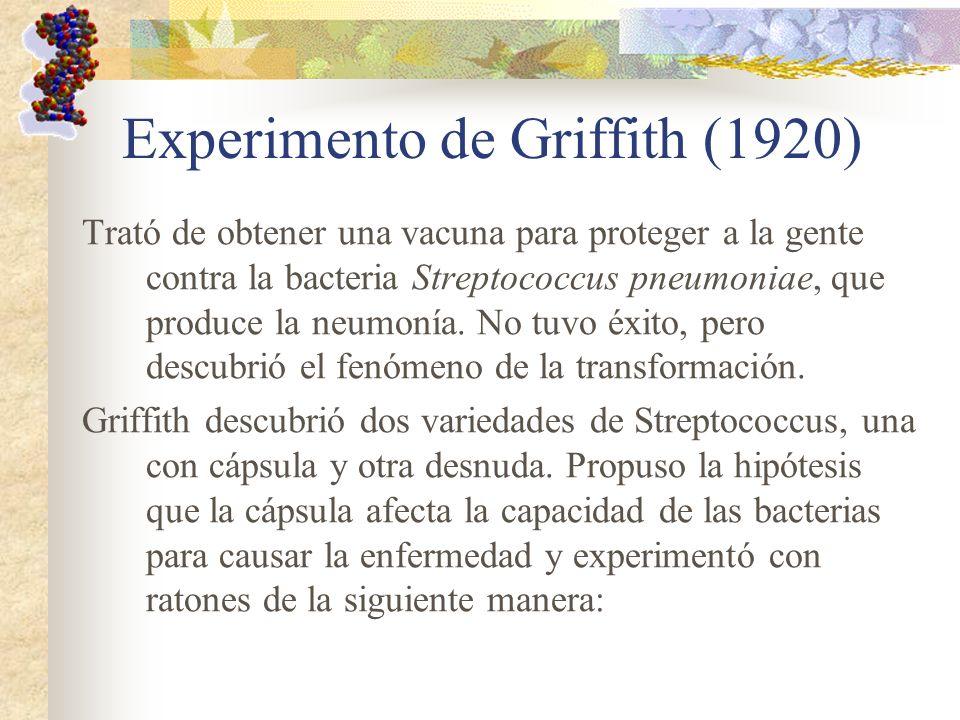 Experimento de Griffith (1920) Trató de obtener una vacuna para proteger a la gente contra la bacteria Streptococcus pneumoniae, que produce la neumon