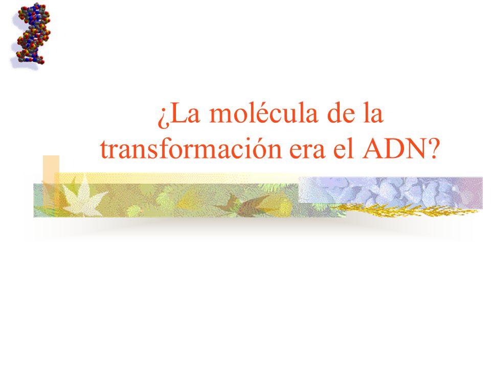 ¿La molécula de la transformación era el ADN?