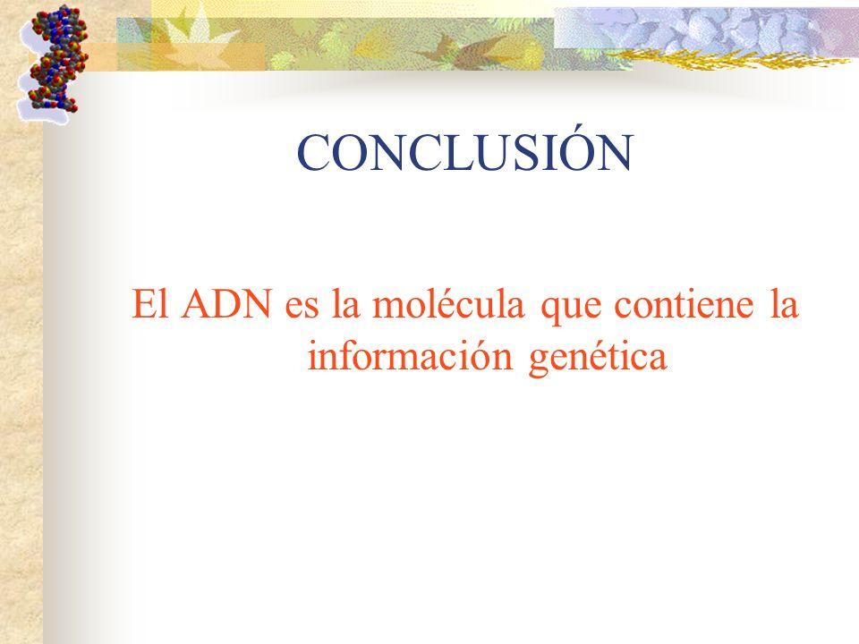 CONCLUSIÓN El ADN es la molécula que contiene la información genética
