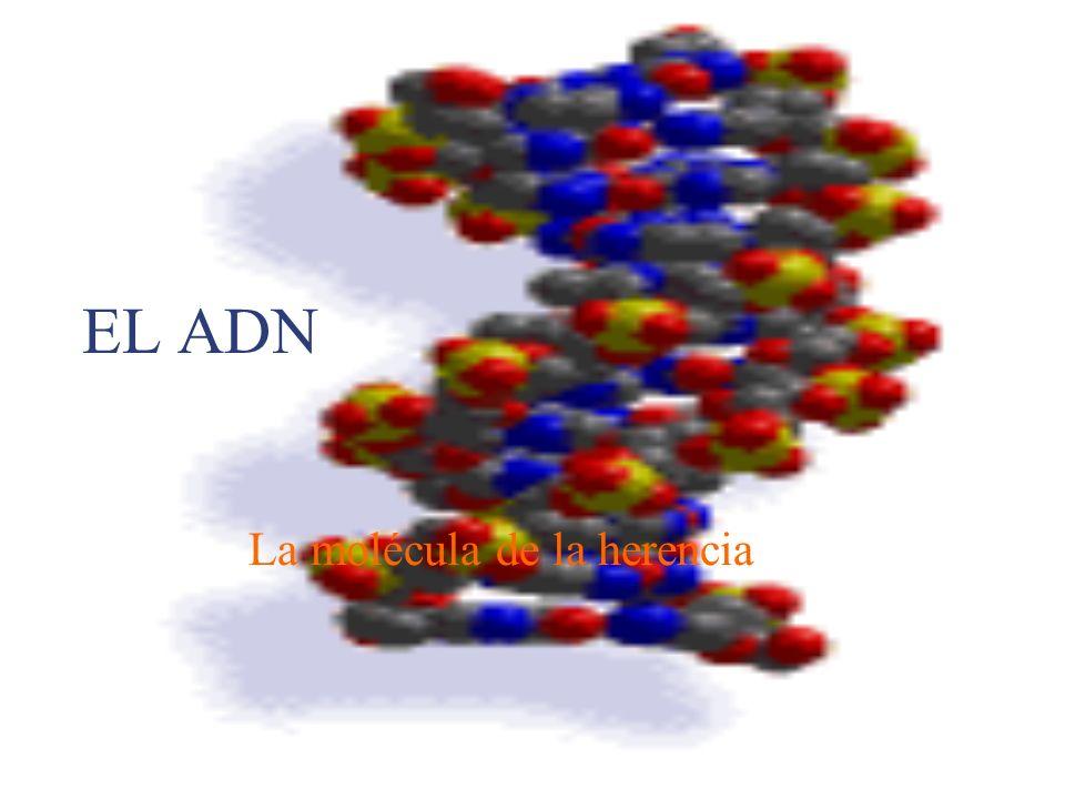 EL ADN La molécula de la herencia