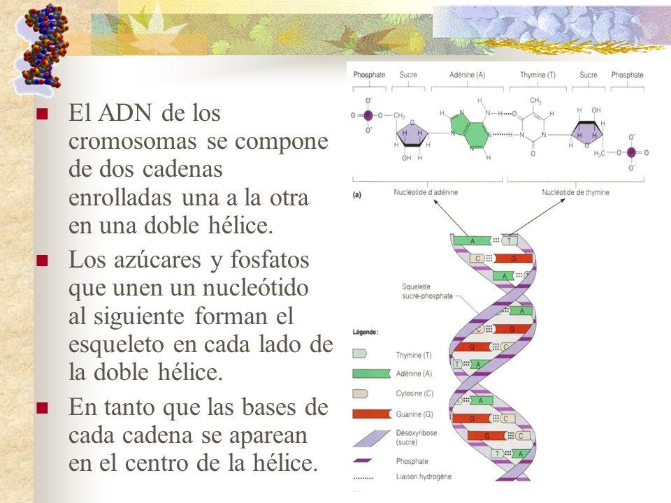 El ADN de los cromosomas se compone de dos cadenas enrolladas una a la otra en una doble hélice. Los azúcares y fosfatos que unen un nucleótido al sig