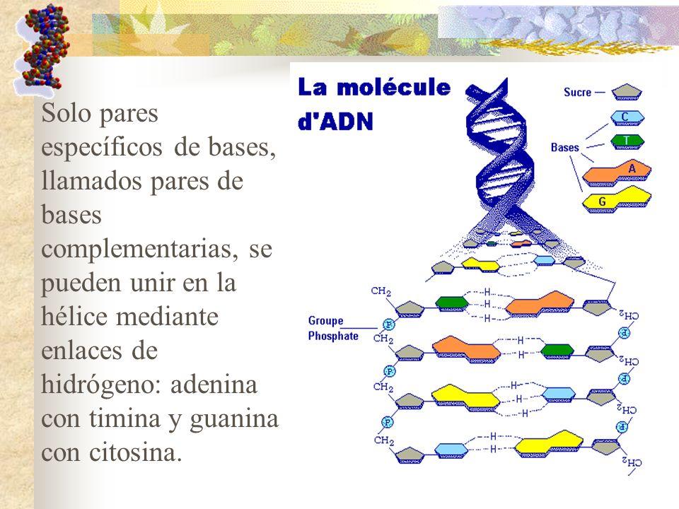 Solo pares específicos de bases, llamados pares de bases complementarias, se pueden unir en la hélice mediante enlaces de hidrógeno: adenina con timin