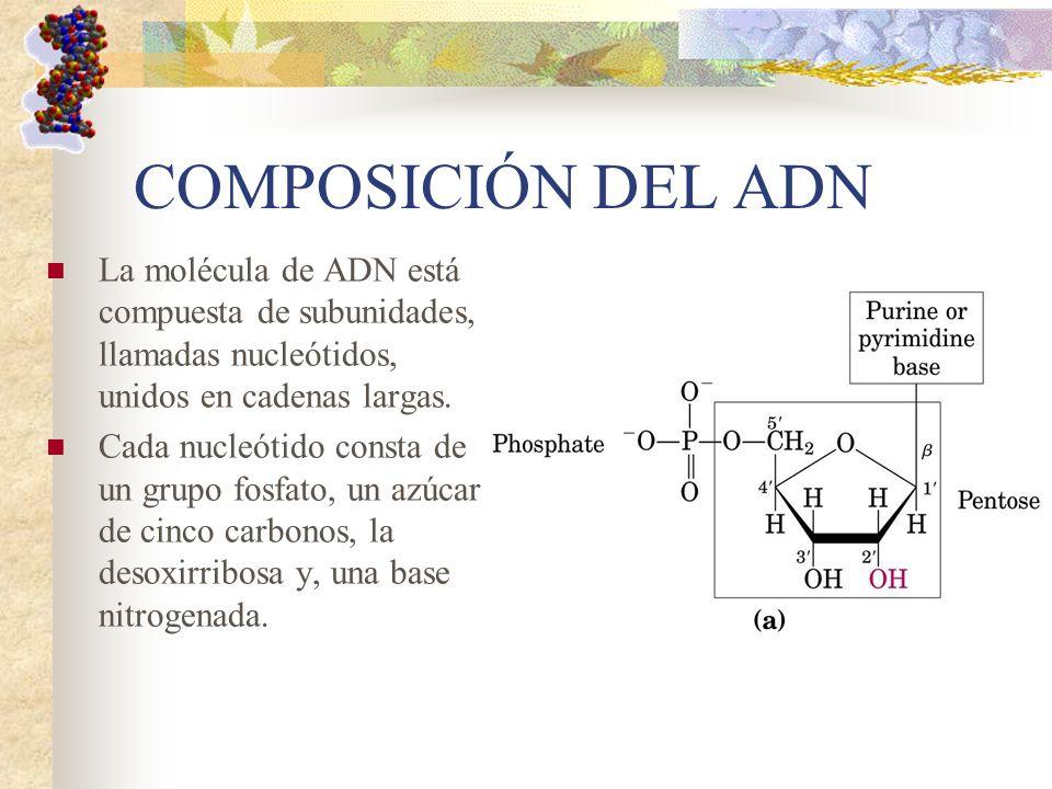 COMPOSICIÓN DEL ADN La molécula de ADN está compuesta de subunidades, llamadas nucleótidos, unidos en cadenas largas. Cada nucleótido consta de un gru