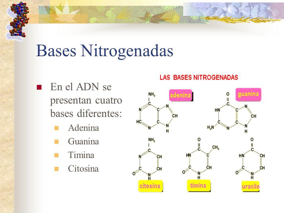 Bases Nitrogenadas En el ADN se presentan cuatro bases diferentes: Adenina Guanina Timina Citosina