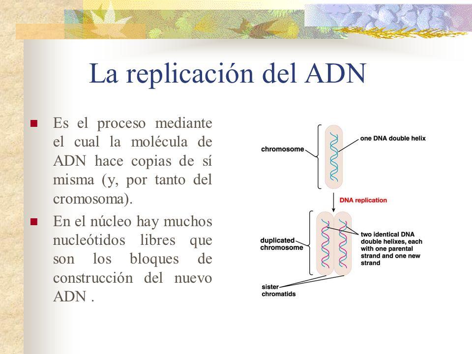 La replicación del ADN Es el proceso mediante el cual la molécula de ADN hace copias de sí misma (y, por tanto del cromosoma). En el núcleo hay muchos