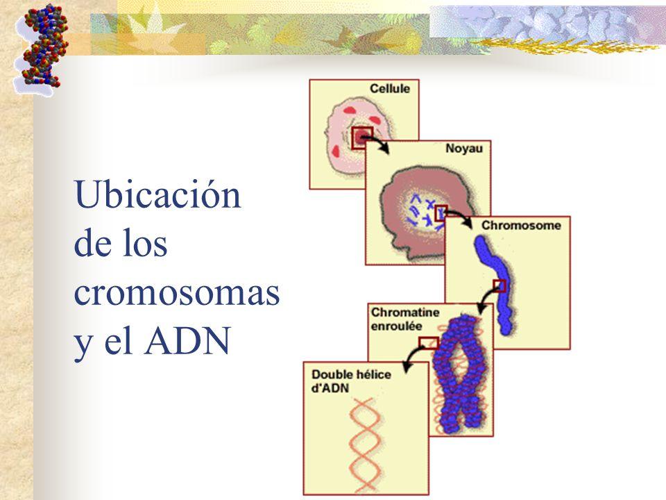 Ubicación de los cromosomas y el ADN