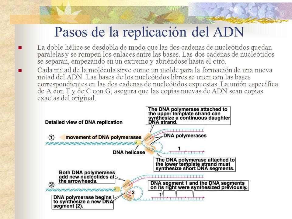Pasos de la replicación del ADN La doble hélice se desdobla de modo que las dos cadenas de nucleótidos quedan paralelas y se rompen los enlaces entre