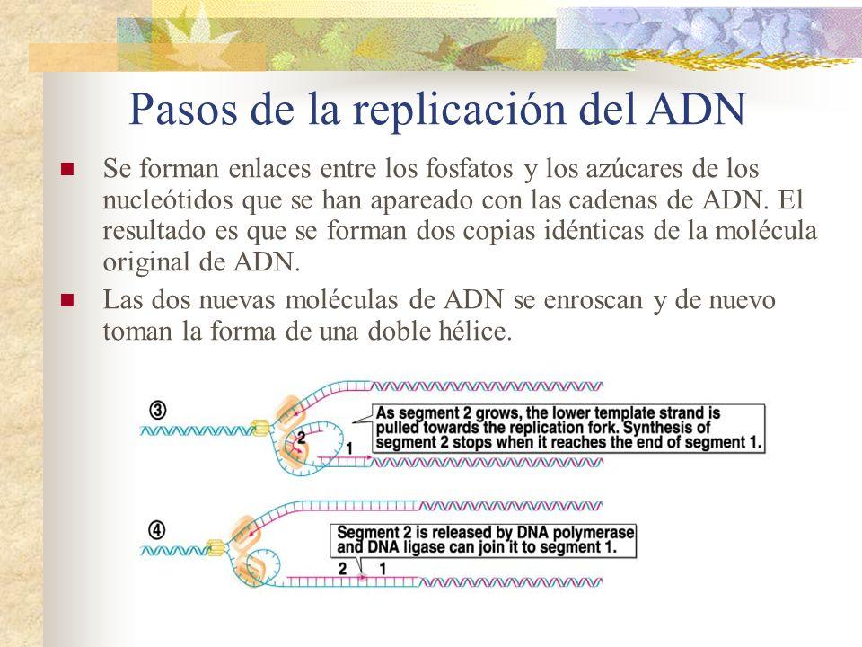 Pasos de la replicación del ADN Se forman enlaces entre los fosfatos y los azúcares de los nucleótidos que se han apareado con las cadenas de ADN. El