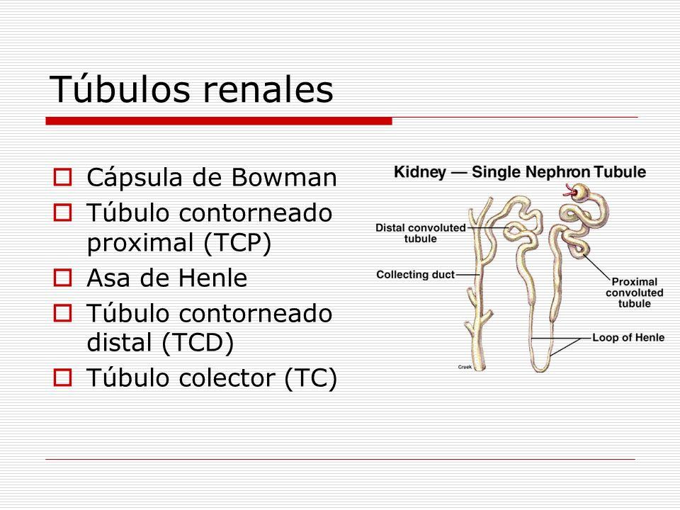 Túbulos renales Cápsula de Bowman Túbulo contorneado proximal (TCP) Asa de Henle Túbulo contorneado distal (TCD) Túbulo colector (TC)