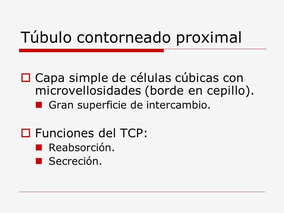 Túbulo contorneado proximal Capa simple de células cúbicas con microvellosidades (borde en cepillo). Gran superficie de intercambio. Funciones del TCP