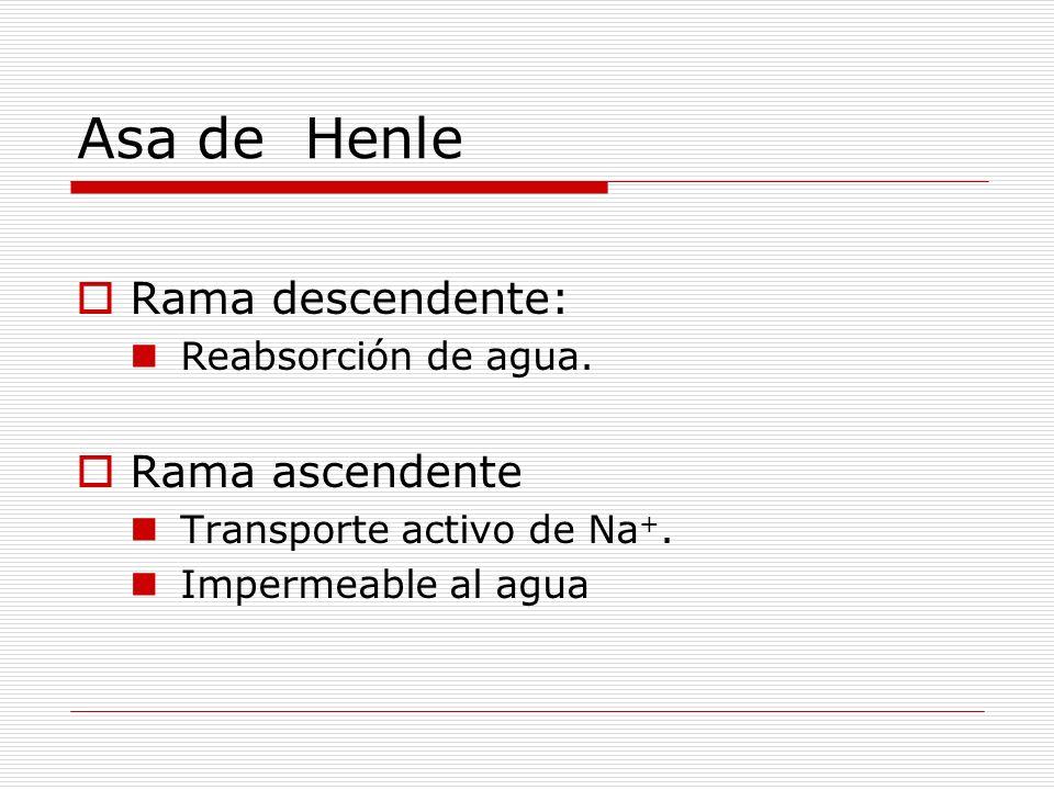 Asa de Henle Rama descendente: Reabsorción de agua. Rama ascendente Transporte activo de Na +. Impermeable al agua