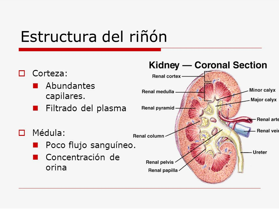 Vasos sanguíneos renales Arteriola Aferente: Lleva sangre al glomérulo.