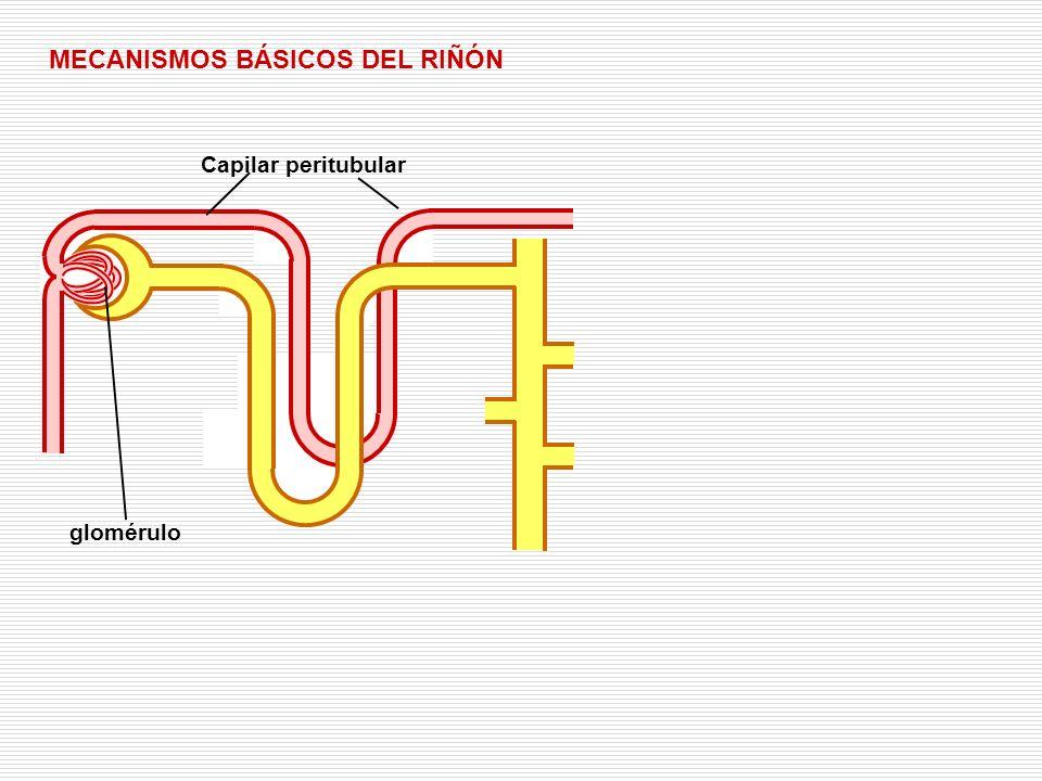 FILTRACIÓN: salida de líquido de los capilares glomerulares al túbulo renal FILTRACIÓN MECANISMOS BÁSICOS DEL RIÑÓN Sustancia a eliminar Sustancia que no debe ser eliminada