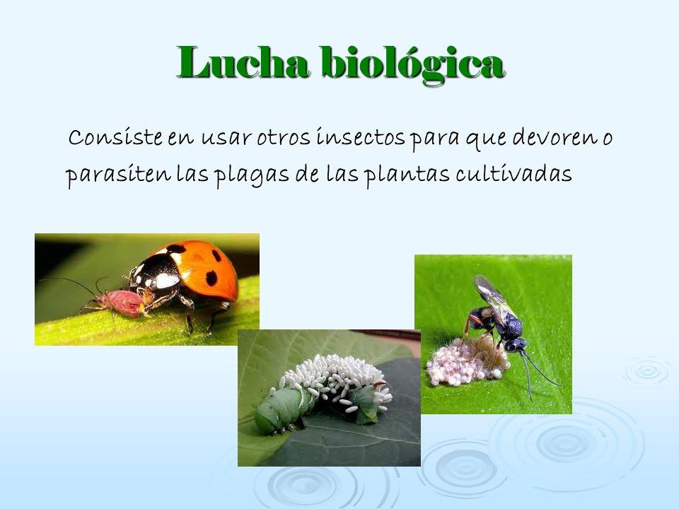 Lucha biológica Consiste en usar otros insectos para que devoren o parasiten las plagas de las plantas cultivadas