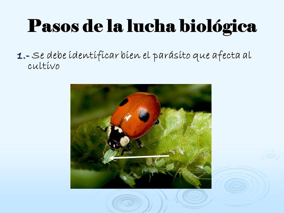Pasos de la lucha biológica 1.- Se debe identificar bien el parásito que afecta al cultivo